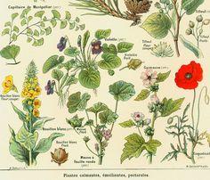 1912 Plantes Medicinales Calmantes Emolientes par sofrenchvintage