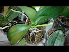 Куча цветоносов на Орхидеях - YouTube