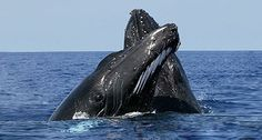 Whale Watching Season is here again! Visit Samana and watch the migration of thousands of Humpback Whales! Humpback Whale Pictures, Rettet Die Wale, Whale Watching Season, Baleen Whales, Save The Whales, Delphine, Ocean Creatures, Killer Whales, Sea World