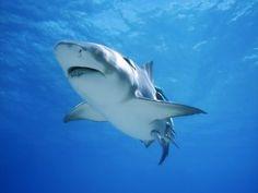 Tiburón nadando en un mar azul