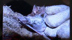 Os bichos se alimentam do sangue de animais. Mas, com a seca e a redução da caça e rebanhos, os morcegos podem ter passado a morder humanos também. Eles vivem em cavernas no Vale do Catimbau, mas os pesquisadores descobriram os novos hábitos dos bichos.
