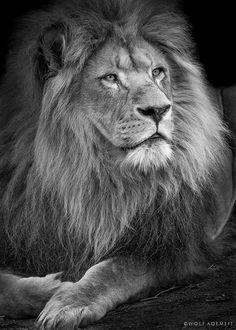 lion portrait by Wolf Ademeit on 500px