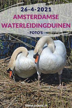 Ik maakte een wandeling in de Amsterdamse Waterleidingduinen. Dit keer zag ik twee bunkers, dodaars, knobbelzwanen op hun nest en damherten. Mijn foto's zie je hier. Kijk je mee? #awd #damhert #knobbelzwaan #dodaar #bunkers #wandelen #hiken #natuur #jtravel #jtravelblog #fotos