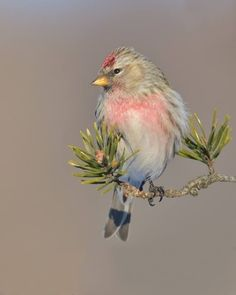 Delicate bird on small evergreen twig. Source not known.