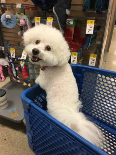 Maja Very Cute Puppies, Cute Dogs, Animals And Pets, Cute Animals, Bichon Dog, Miniature Dogs, Cute Dog Pictures, Love Pet, Little Dogs