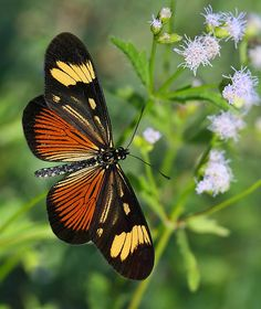 Postman (Part of 4 types) (Heliconius Melpomene). South America.