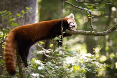 A picture from a sleeping firefox or red panda (Ailurus fulgens) is a mammal native to the eastern Himalayas and southwestern China with reddish-brown fur, a long, shaggy tail, and a waddling gait due to its shorter front legs. It is solitary, nocternal, & arboreal, feeding mainly on bamboo.