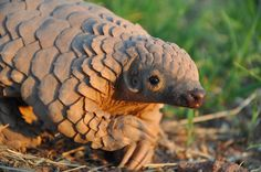The Cape #pangolin, pictured here, could become increasingly imperiled if trade moves from Asia to Africa. Photo by: Maria Diekmann/Rare and Endangered Species Trust.