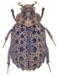 Polynoncus brasiliensis (Vaurie, 1962)