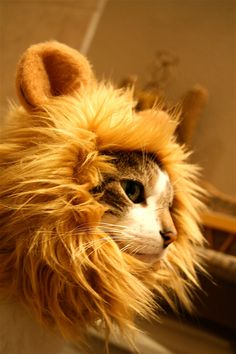 Lion Hat for Your Cat -  #showmecats #thefashionista