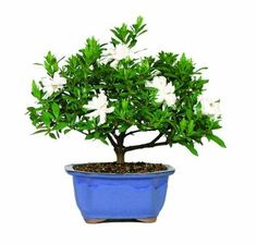 Amazon.com: Brussel's DT0107G Gardenia Outdoor Bonsai Tree: Patio, Lawn & Garden