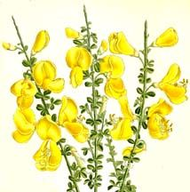 Cytisus flowers/ witches broom... It has played a role in Air magic, having been burned to calm blustery winds and thrown into the air to raise winds.The yellow flowers are considered good luck, but in Suffolk and Surrey you were not to make a besom of broom when it was in flower, or you would sweep away your luck.