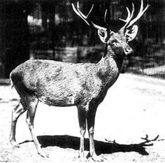 SCHOMBURGK'S DEER ~ Extinct Animals ~ In the beginning of the 20th century, Schomburgk's Deer was also subjected to large-scale hunting which finally led to its extinction by 1930s. The last Schomburgk's Deer in captivity was killed in 1938, thus marking the end of this species.  Read more at Buzzle: http://www.buzzle.com/articles/extinct-animals-in-the-last-100-years.html#schomburgks-deer    http://en.wikipedia.org/wiki/Schomburgk's_Deer