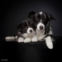 Border Collie Mother With one of Her Pups. Puppies And Kitties, Cute Puppies, Cute Dogs, Beautiful Dogs, Animals Beautiful, Cute Animals, Border Collie Puppies, Collie Dog, West Highland Terrier
