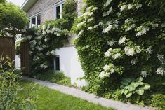 Climbing Hydrangea Petiolaris flowers growing on the side of a home in Quebec, Canada during spring. pflanzen schatten Photo from Dissolve Hydrangea Shade, Types Of Hydrangeas, Hydrangea Varieties, Climbing Hydrangea, Climbing Flowers, Climbing Vines, Hydrangea Plant, Hydrangea Petiolaris, Best Plants For Shade