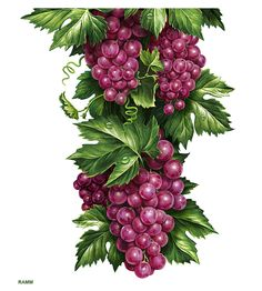 """Иллюстрации для лимонадов ТМ """"Напитки из Черноголовки"""" by INORAMA illustrators, via Behance"""