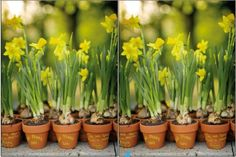 Yellow daffodils for a Spring Wedding can be forced to bloom at just the right time and could be used as favors/decorations