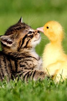 baby ducks and kittens Cute Baby Animals, Animals And Pets, Funny Animals, Funny Kitties, Farm Animals, Cute Kittens, Cats And Kittens, Baby Cats, Photo Chat