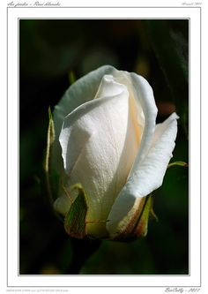 Au jardin - Rose blanche   Flickr – Compartilhamento de fotos!