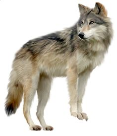welcome to my world of tube animals Wolf Clipart, Animals Images, Animals And Pets, Photoshop, Wilhelm Busch, Animal Cutouts, Wolf Painting, Episode Backgrounds, Wolf Pictures