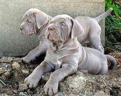 Neopolitan Mastiff puppies- more baby giants Mastiff Breeds, Mastiff Puppies, Cute Puppies, Cute Dogs, Dogs And Puppies, Neopolitan Mastiff, Wallpaper English, Baby Animals, Cute Animals