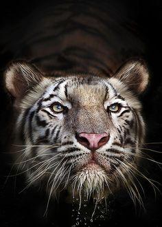Benggala by Ivan Lee  Tiger
