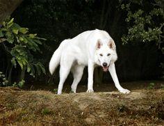 Dog Breeds List That Look Like Wolves (Wolf Dogs) - Animal Home Garden Dog Wallpaper, Animal Wallpaper, Tamaskan Dog, Northern Inuit Dog, Boy Dog Names, Wolf Husky, Wolf Dogs, Dog Breeds List, Beautiful Wolves