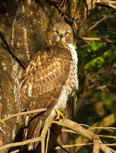 Red-tailed Hawk by reddirtpics, via Flickr