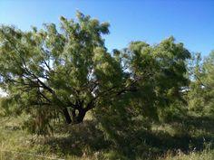Quanah, Texas - Mesquite Trees