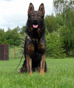 I would love to have a sable German Shepherd. His name would be Erebus.