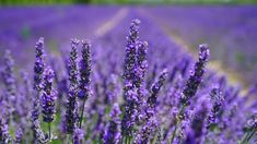 Want to know how to grow lavender? Growing lavender is easy but gardeners have different needs. So check this complete growing guide to growing lavender. Lavender Fields, Lavender Flowers, Lavender Oil, Lavender Plants, Meadow Flowers, Floral Flowers, Natural Mosquito Repellent Plants, Plants That Repel Bugs, Growing Lavender