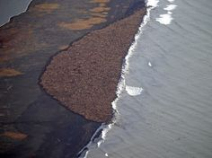 Walruses by Corey Accardo/NOAA/NMFS/AFSC/NMML/Reuters via businessinsider: National Oceanic and Atmospheric Administration released a mesmerizing aerial photo showing an estimated 35,000 walruses gathered in one spot. The walruses came together in record numbers off Alaska's northwest coast because they couldn't find enough sea ice to rest on, a grave sign of a warming planet. #Walruses #Global_Warming #Alaska