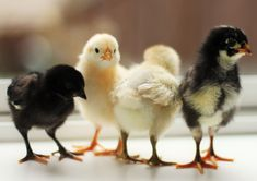 We raise heritage chicken breeds that are organic - turkeys, ducks and pheasants too - chicks to full grown laying hens, for urban chicken enthusiasts Chickens For Sale, Baby Chickens, Keeping Chickens, Raising Chickens, Chickens Backyard, Heritage Chicken Breeds, Heritage Chickens, Easy Chicken Coop, Chicken Coop Designs