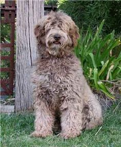 austrialian labradoodle pictures - Yahoo Search Results