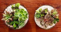 Fim de tarde com Gilbertos  #suculentas #suculovers #arranjodesuculentas #oitominhocas #vasogilberto #decoração #plantinhas