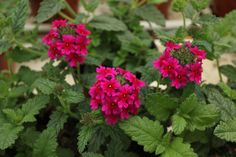 Verbena 'Samira Burgundy' Verbena, Burgundy, Plants, Plant, Wine Red Hair, Amaranth Grain, Planets
