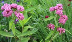 Asclepias incarnata 'Cinderella', Swamp Milkweed  Great for pollinators.