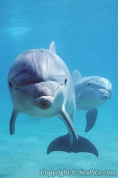 Bottlenose dolphins, Tursiops truncatus, Israel, Red Sea