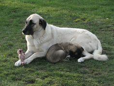 Asalet Anatolian Shepherd Dogs Home of the Turkish Kangal