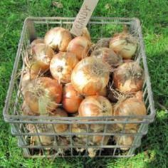 Growing Tomatoes Tips Guide to Watering Onions Growing Tomatoes From Seed, Growing Tomato Plants, Grow Tomatoes, Dried Tomatoes, Tomato Garden, Vegetable Garden, Best Tasting Tomatoes, Tomato Pruning, Fruits And Veggies