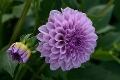 perfect shade of purple dahlia