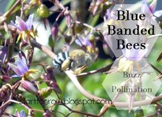 Blue Banded Bees - Buzz Pollination  - Australia