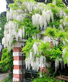 Wisteria 'Alba'  A very profusely flowering climbing shrub with pendulous racemes of white, delicate pea-like flowers – that hang up to 50 cm long! Fabulous along a wall or over a pergola! The Japanese Wisteria (Wisteria floribunda 'Alba') will not attach by itself. Delivery height approx.: 25 cm.