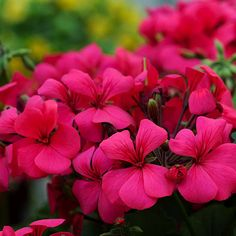 """Caliente Geranium """"Deep Rose"""" - disease resistant, self cleaning, almost constant bloom. Sun. Grow with white scaevola. Annuals."""