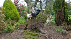 Chickens - photo by Kate Martindale