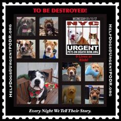 TO BE DESTROYED 01/11/17 - - Info    To rescue a Death Row Dog, Please read this:http://information.urgentpodr.org/adoption-info-and-list-of-rescues/   To view the full album, please click here: http://nycdogs.urgentpodr.org/tbd-dogs-page/ -  Click for info & Current Status: http://nycdogs.urgentpodr.org/to-be-destroyed-4915/