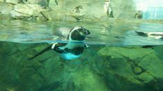 新江ノ島水族館のペンギン可愛かった。