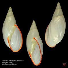 Aspastus miltocheilus stramineus (Brazier, 1894) - C & A Evanno