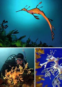 Weedy Sea Dragon (top), Leafy Sea Dragons (bottom) - photos from Pet Supermarket (photographers not listed); Sea Dragons can grow to be inches long!photos have been removed. Tropical Animals, Tropical Fish, Colorful Fish, Beneath The Sea, Under The Sea, Weedy Sea Dragon, Beautiful Sea Creatures, Salt Water Fish, Pet Fish