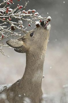 Awesome Winter Landscape Photos : Beautiful winter landscape photos, including this deer snacking on red berries. Beautiful Creatures, Animals Beautiful, Cute Animals, Animals In Snow, Animals In Winter, Wild Animals, Winter Photos, Tier Fotos, All Gods Creatures